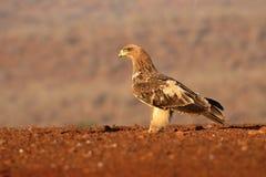 Gelb-brauner Adler, Aquila-rapax Lizenzfreies Stockbild
