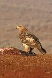 Gelb-brauner Adler, Aquila-rapax Stockbild