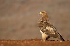 Gelb-brauner Adler, Aquila-rapax Lizenzfreie Stockbilder