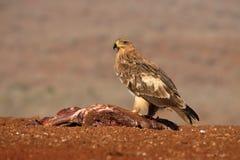 Gelb-brauner Adler, Aquila-rapax Lizenzfreie Stockfotografie