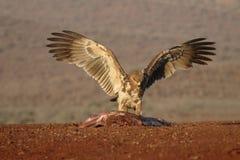 Gelb-brauner Adler, Aquila-rapax Stockfotografie