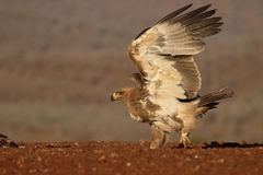 Gelb-brauner Adler, Aquila-rapax Lizenzfreie Stockfotos