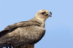 Gelb-brauner Adler Aquila-rapax Lizenzfreie Stockfotos