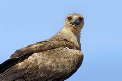 Gelb-brauner Adler Aquila-rapax Stockfotos