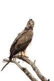 Gelb-brauner Adler Aquila-rapax, das auf einem Niederlassungsbaum sitzt Lizenzfreies Stockfoto