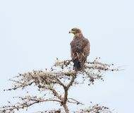 Gelb-brauner Adler Aquila-rapax in einem Baum Stockbilder