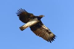 Gelb-brauner Adler Aquila-rapax Fliege Stockfotografie