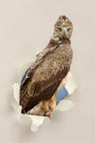 Gelb-brauner Adler (Aquila-rapax) schauend durch ein Loch zerrissen dem Papier Lizenzfreie Stockfotografie