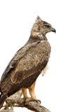 Gelb-brauner Adler (Aquila-rapax) sitzend auf einem Niederlassungsbaum Stockfotos