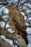 Gelb-brauner Adler auf Niederlassung mit gekräuselten Federn Lizenzfreie Stockfotografie