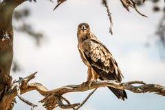 Gelb-brauner Adler, der auf einer Niederlassung sitzt Stockfotografie