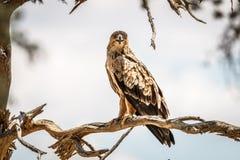 Gelb-brauner Adler, der auf einer Niederlassung sitzt Lizenzfreies Stockbild