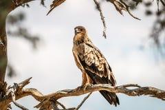 Gelb-brauner Adler, der auf einer Niederlassung sitzt Lizenzfreie Stockfotografie