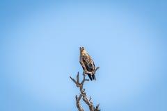 Gelb-brauner Adler, der auf einer Niederlassung sitzt Stockfotos