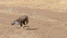 Gelb-brauner Adler, der eine Mahlzeit genießt Lizenzfreie Stockbilder