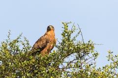 Gelb-brauner Adler, der in einem Baum und in den Pfadfindern sitzt Stockfotos
