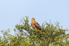 Gelb-brauner Adler in einem Treetop Stockbilder