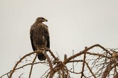 Gelb-brauner Adler gehockt auf pfeifender Akazienniederlassung Lizenzfreie Stockfotos