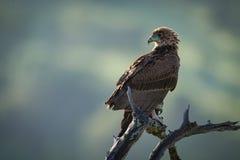 Gelb-brauner Adler gehockt auf verdrehtem totem Zweig Lizenzfreie Stockfotografie