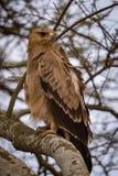 Gelb-brauner Adler im Baum mit gekräuselten Federn Stockbild