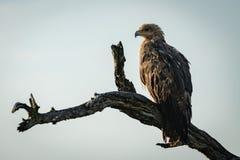 Gelb-brauner Adler im Profil auf totem Zweig Stockfotografie