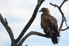 Gelb-brauner Adler, Maasai Mara Game Reserve, Kenia Stockbild