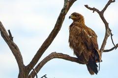 Gelb-brauner Adler, Maasai Mara Game Reserve, Kenia Lizenzfreie Stockbilder