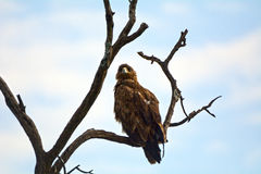 Gelb-brauner Adler, Maasai Mara Game Reserve, Kenia Stockfotos