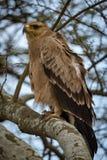 Gelb-brauner Adler mit gekräuselten Federn auf Niederlassung Lizenzfreie Stockfotos