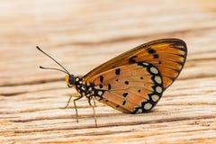 Gelb-brauner coster Schmetterling Stockfotografie