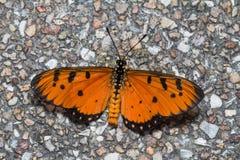 Gelb-brauner coster Schmetterling Stockbild