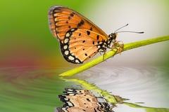 Gelb-brauner coster Schmetterling Stockbilder