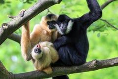 Gelb cheeked Gibbon lizenzfreie stockfotos