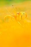 Gelb daylily Stockfoto