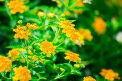 Gelb der Blume, unscharfe Blumenbeschaffenheit stockfoto