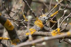 Gelb der Flechte (Moos) auf einem Baumast Jahreszeitfrühling knospen Stockfotos