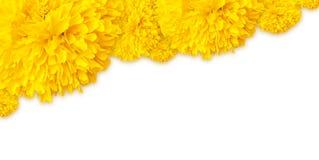 Gelb der Ringelblume blüht Rahmen auf Spitzenhintergrund Lizenzfreies Stockbild