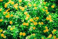Gelb des Blumenhintergrundes Stockfotografie