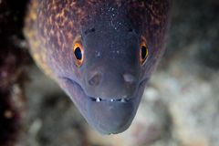 Gelb-eingestellter Moray Eel auf Riff in Indonesien Lizenzfreie Stockfotografie