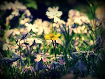 Gelb einzeln zwischen purpurroter Schönheit stockfoto