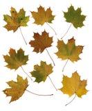 Gelb gefärbte Herbstahornblätter auf einem weißen Hintergrund Lizenzfreie Stockbilder