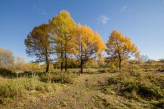 Gelb gefärbte Tanne Lizenzfreie Stockfotos