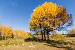 Gelb gefärbte Tanne Lizenzfreies Stockbild