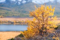 Gelb gefärbter Strauch im Herbst in den Bergen Stockfotos