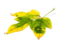 Gelb gefärbtes Herbstahornblatt Lizenzfreies Stockbild
