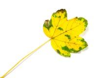 Gelb gefärbtes Herbstblatt Lizenzfreie Stockfotos