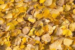 Gelb gefallener Herbstlaub Lizenzfreie Stockbilder