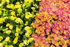 Gelb gegen Rosa Lizenzfreie Stockbilder