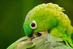 Gelb-gekrönter Amazonas, Amazona ochrocephala auropalliata, Porträt des hellgrünen Papageien, Costa Rica Stockbild