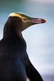 Gelb-gemusterter Pinguin Stockfoto